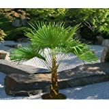 trachycarpus wagnerianus hanfpalme palme winterhart. Black Bedroom Furniture Sets. Home Design Ideas