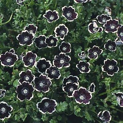 Pennie- Nemophila Discoidalis- Black- 50 Seeds : Garden & Outdoor