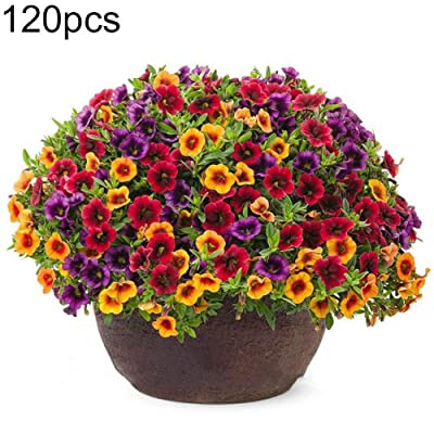 GwUzsfu Indoor Outdoor Balcony Flowers Plant Seeds 120Pcs Mixed Gloxinia Calibrachoa Petunia Flower Seeds Yard Plant SeedHome Garden Plant Gift- 120pcs Gloxinia Seeds: Home & Kitchen