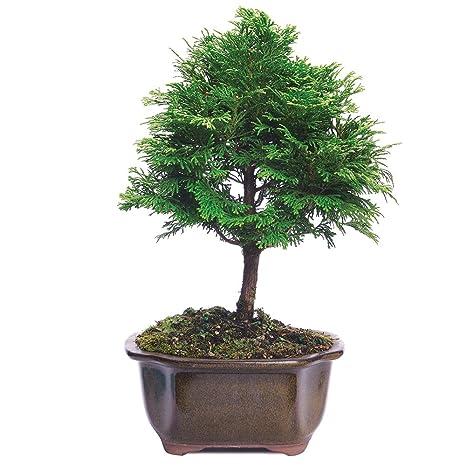 Groovy Amazon Com Brussels Live Hinoki Cypress Outdoor Bonsai Tree 3 Wiring 101 Carnhateforg
