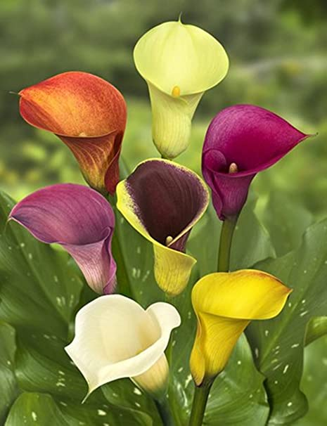 Amazon Com 5 Bulbs Mixed Calla Lily Flowering Plants Garden