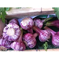 Russian Red, Garlic for Planting Large Heirloom Bulbs Untreated,Organic!
