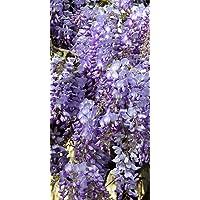 2 Plants.Purple Wisteria, Live Plant, Potted