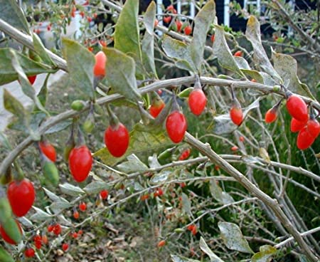 Amazon Com True Source Seeds Goji Berry Wolfberry Lycium