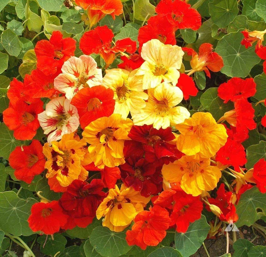 20 Jewel Mix Nasturtium Tropaeolum minus seeds Seeds Indian Cress 2.83 grams