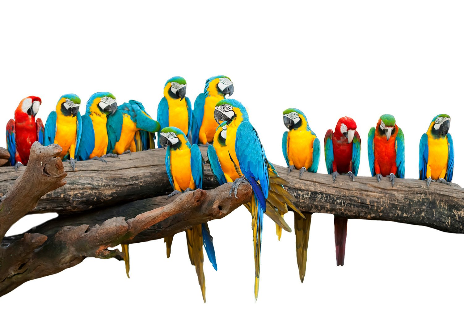 CHOIS Custom Films CF3335 Animal Parrots Birds Glass Window Frosted DIY Stickers 4' W by 3' H