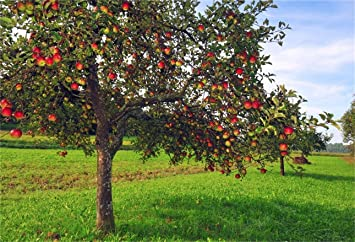 10x6.5 Polyester Backdrop Traditional Apple Trees Orchard Photography Background Autumn Meadow Harvest Red and Green Apples Landscape Photo Background Children Baby Adult Art Shoot