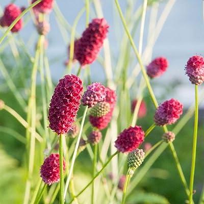 300 Seeds | Deep Red Blooms | Sanguisorba officinalis | Great Burnet : Garden & Outdoor