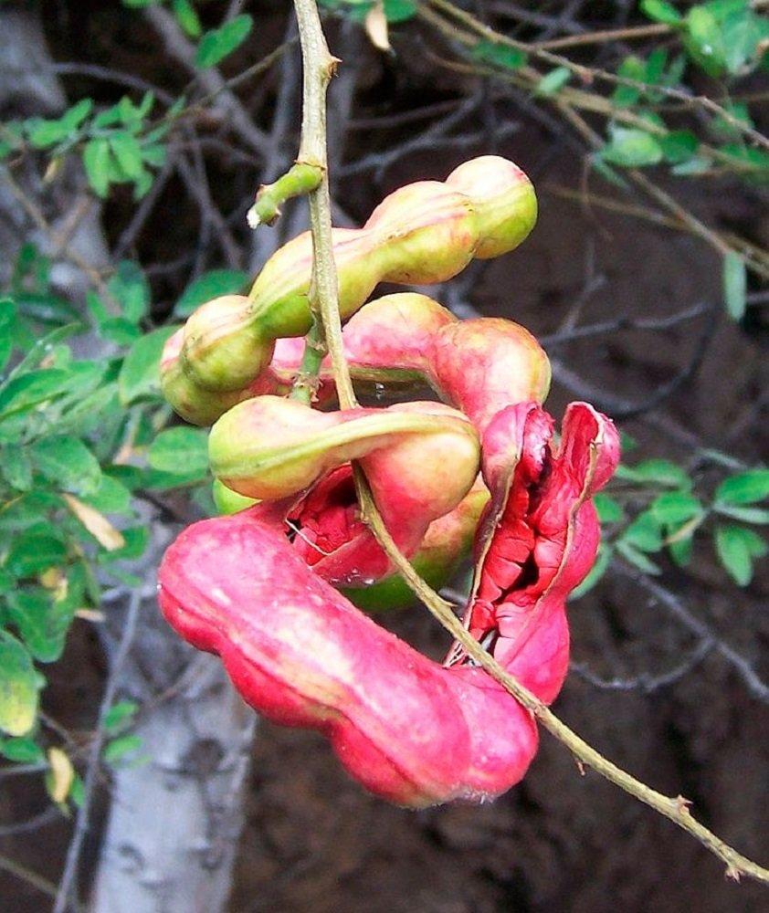 Amazon.com: Rojo guamuchil 50 semillas pithecellobium dulce ...
