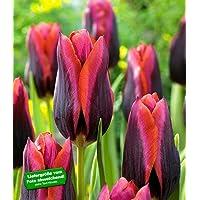 """BALDUR-Garten Tulpe """"Slawa"""" 10 Zwiebeln Tulipa"""