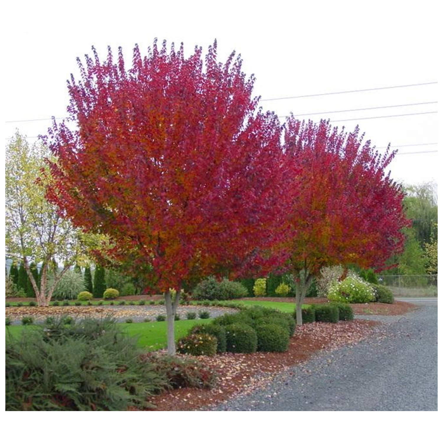 Burgundy Belle Maple Tree - Acer rubrum ''Magnificent Magenta'' - Heavy Established Roots - Two Gallon Potted - 1 Plant by Growers Solution