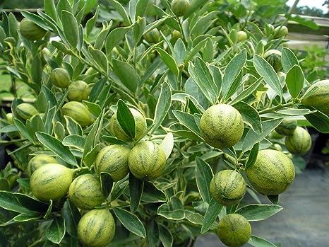 Amazoncom Variegated Centennial Kumquat Tree 8 Pot No Ship To