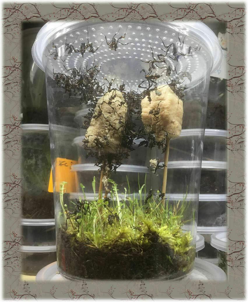 Two Extra Large Praying Mantis Ootheca Egg Cases Praying Mantis
