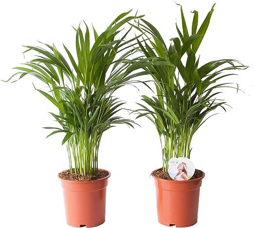 Piante Palme Da Appartamento.Piante Da Interno Da Botanicly 2 Palma Areca Altezza 65 Cm