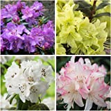 4 Plant Pack Mixed Dwarf Rhododendrons Evergreen Garden Shrub Colour Variety