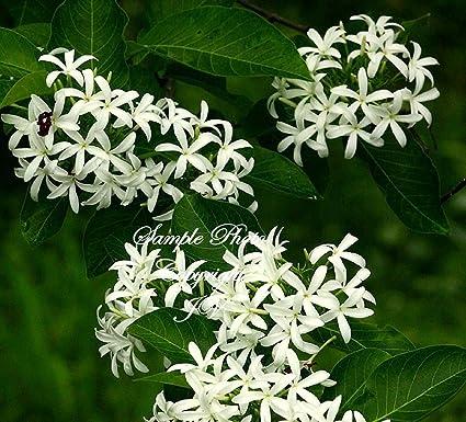 Amazon holarrhena pubescens kurchi 20 seeds rare white star holarrhena pubescens kurchi 20 seeds rare white star flowers mightylinksfo