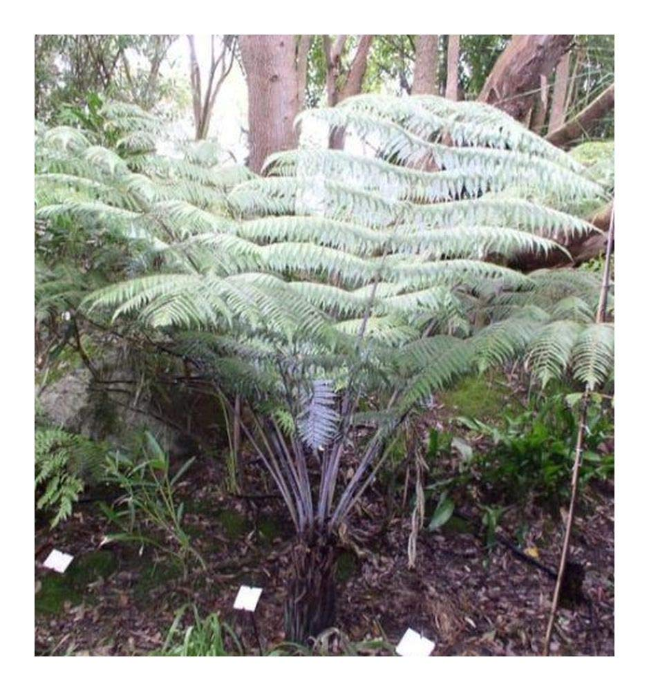 Cyathea dealbata - Silver Tree Fern - 10 Seeds Exotic Plants