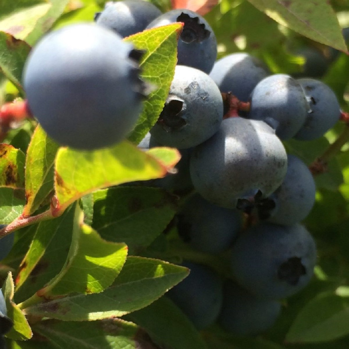 Wild Blueberries Fragrance Oil - 2 LB - for Candle & SOAP Making by VIRGINIA CANDLE SUPPLY - Free S&H in USA by Virginia Candle Supply