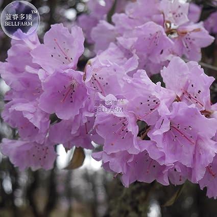 Amazon Purple Yunnan Lapland Rosebay Rhododendron Lapponicum