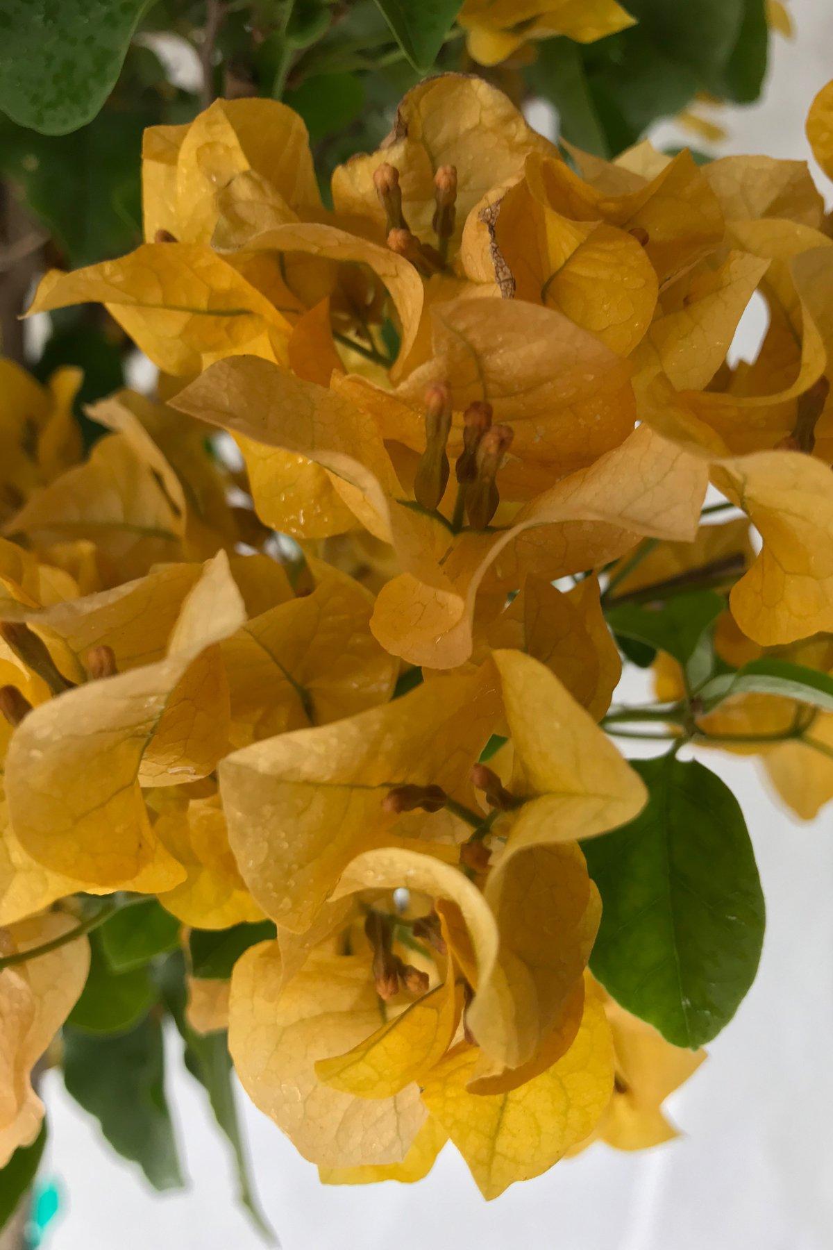 Gold Bougainvillea Plant (flowers, hanging basket, bush, trellis, patio tree, vine) (5 Gal Trellis)