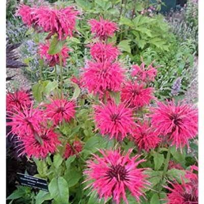 Lemon Mint Monarda Citriodora Herb seeds 2000 seeds BEE Balm for Home Garden Decoration : Garden & Outdoor