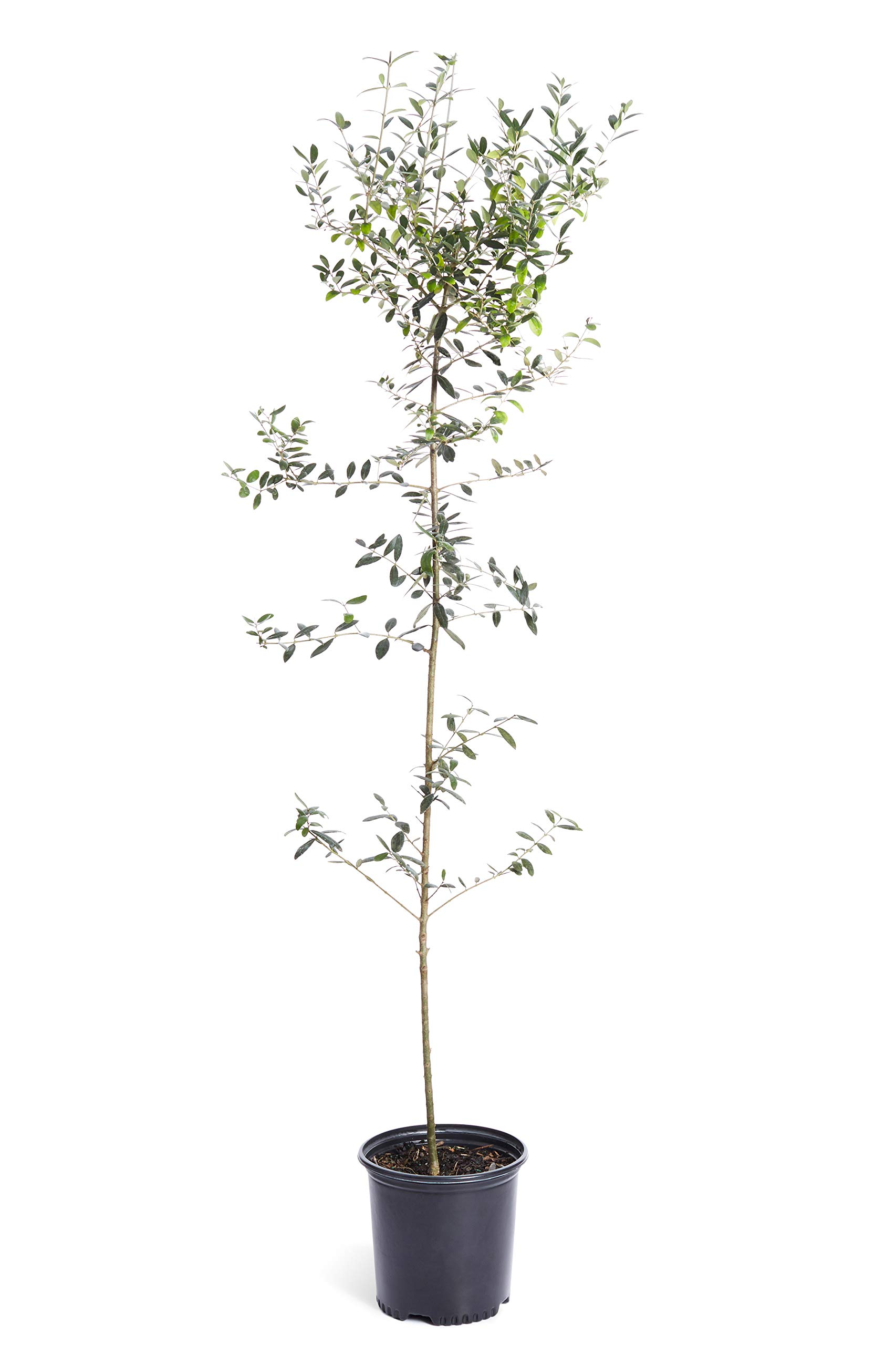 Arbequina Olive Tree 3-4 feet Tall - Get Olives 1st Year with Large Olive Trees - Indoor/Patio Live Olive Trees | No Shipping to AZ by Brighter Blooms (Image #1)