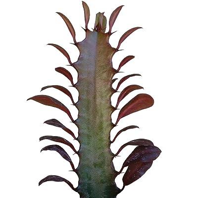Euphorbia trigona f. rubra African Milk Tree (4 inch) : Garden & Outdoor
