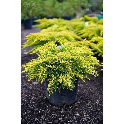Live Gold Coast Juniper aka Juniperus Chin. 'Old Gold' Plant Fit 1 Gallon Pot : Garden & Outdoor