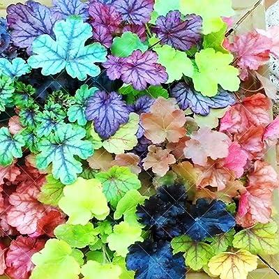 Feriay 50Pcs Home Garden Rainbow Leaf Colorful Plant Leaf Coleus Seeds Flowers: Clothing