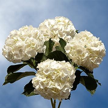 globalrose 20 fresh cut white hydrangeas fresh flowers for weddings or anniversary - White Hydrangea