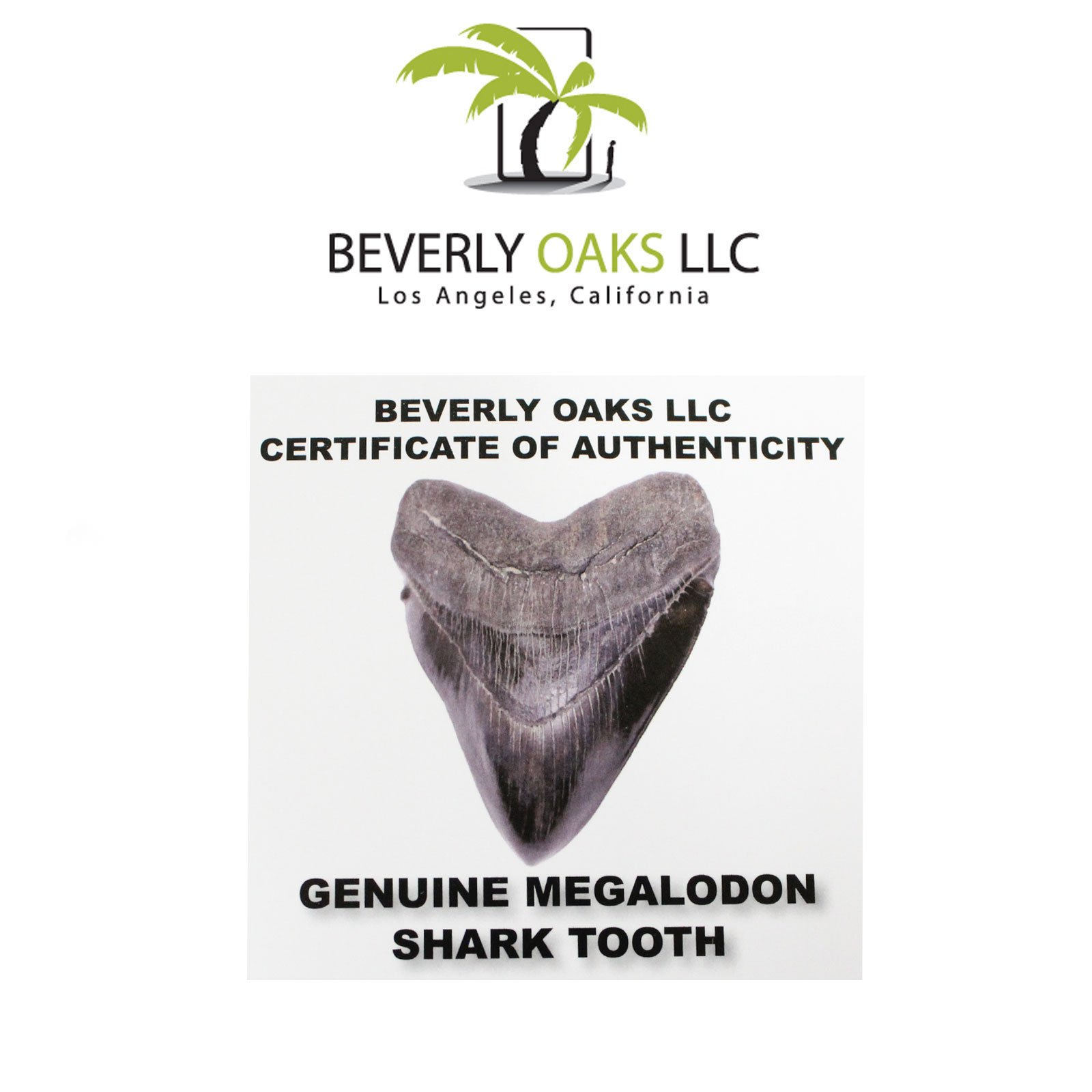Large Monster High Quality Megalodon Shark Tooth 5-6 Inches Great White Ancestor by Beverly Oaks (Image #5)