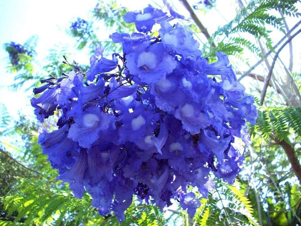 Amazon jacaranda cuspidifolia blue rare flowering trumpet amazon jacaranda cuspidifolia blue rare flowering trumpet tree flamboyan seed 10 seeds garden outdoor izmirmasajfo