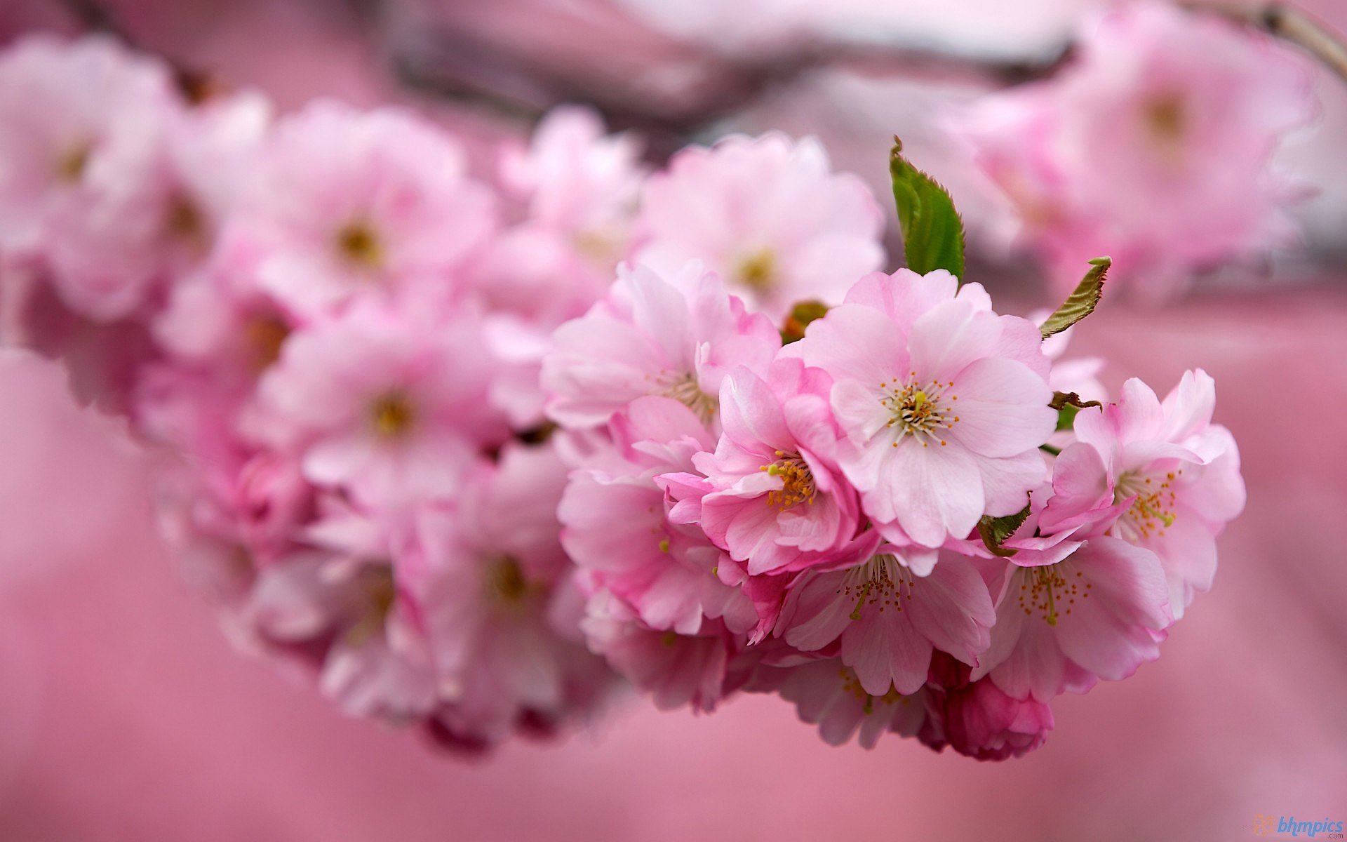 KWANZAN Cherry Tree - Double Flowers 2 - Year Live Tree by Japanese Maples and Evergreens (Image #1)