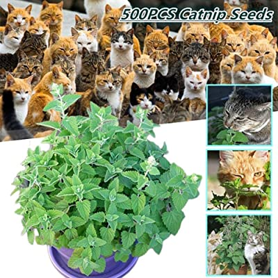 500Pcs Nepeta Cataria Seeds Catnip Catmint Herb Plant Garden Yard Bonsai Decor - Nepeta Cataria Seeds : Garden & Outdoor