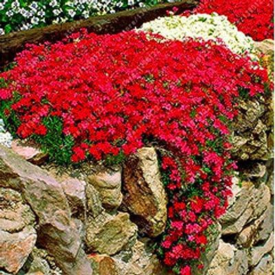 Oliote 100Seeds Ground Cover Flower Garden Decoration Rock Cress Seeds Flowers : Garden & Outdoor