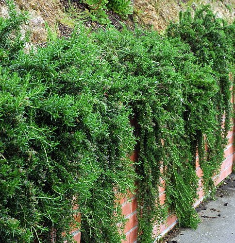 Amazon.com: Planta de rosario cascada – Crepúscula/remolque ...