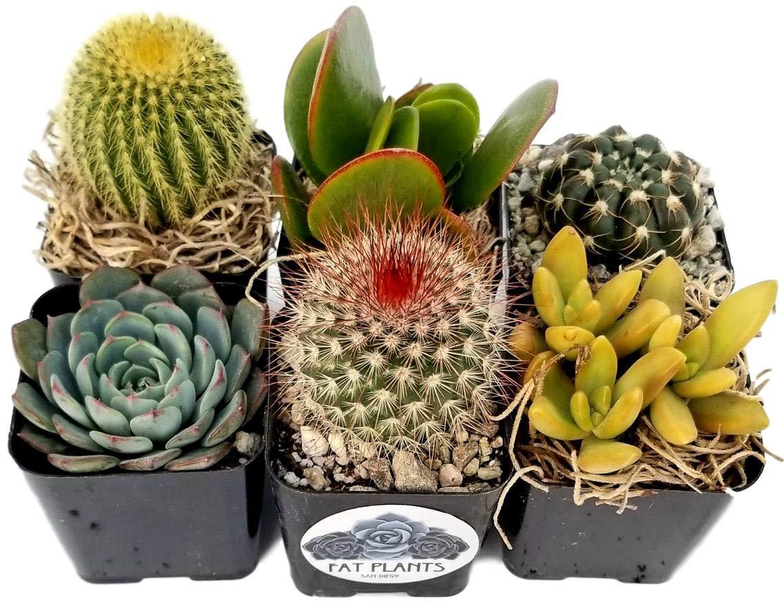 Fat Plants San Diego Miniature Flowering Cactus and Succulent Plant Collection (6)