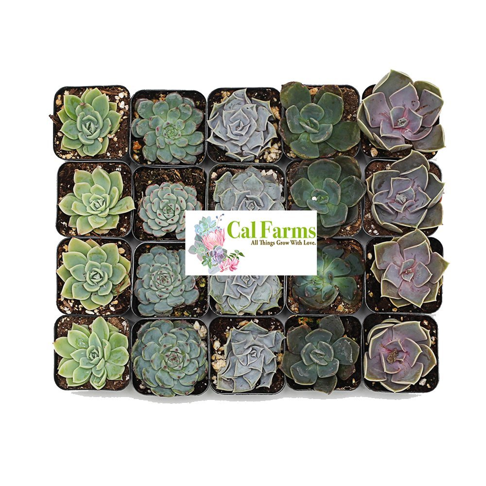 CAL Farms Gardens (20) 2'' Beautiful Rosettes Succulents Weddings or Party Favors by CAL Farms