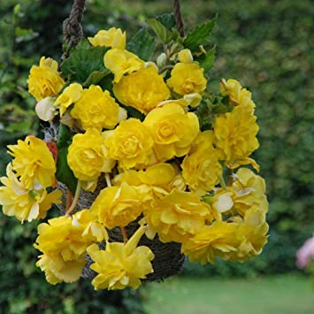 Amazon Yellow Pendula Begonia Beautiful Yellow Flowering Bulb