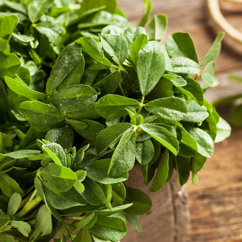 Organic Fenugreek Herb Garden Seeds - 1 g Packet ~70 Seeds - Non-GMO, Heirloom Herbal Gardening, Sprout & Microgreens Seeds