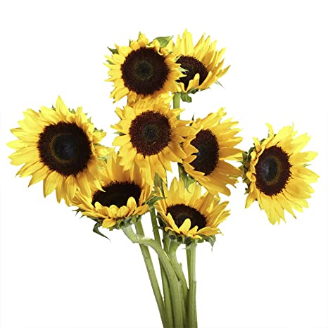 Amazon globalrose 50 fresh cut yellow sunflowers beautiful amazon globalrose 50 fresh cut yellow sunflowers beautiful bright blooms fresh cut format sunflower flowers grocery gourmet food mightylinksfo