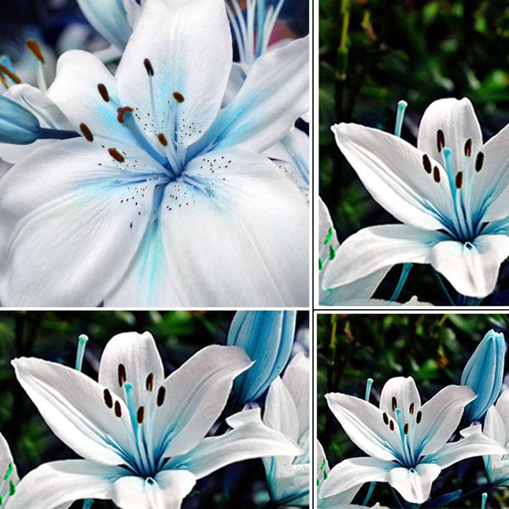 Amazon 50pcs Blue Rare Lily Bulbs Seeds Planting Flower Lilium