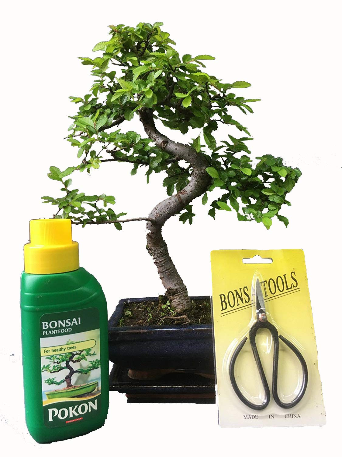 Bonsai Tree - Gift Set - Chinese Elm 20-25cm in Blue Ceramic Pot and Supplied with a driptray Bonsai2u
