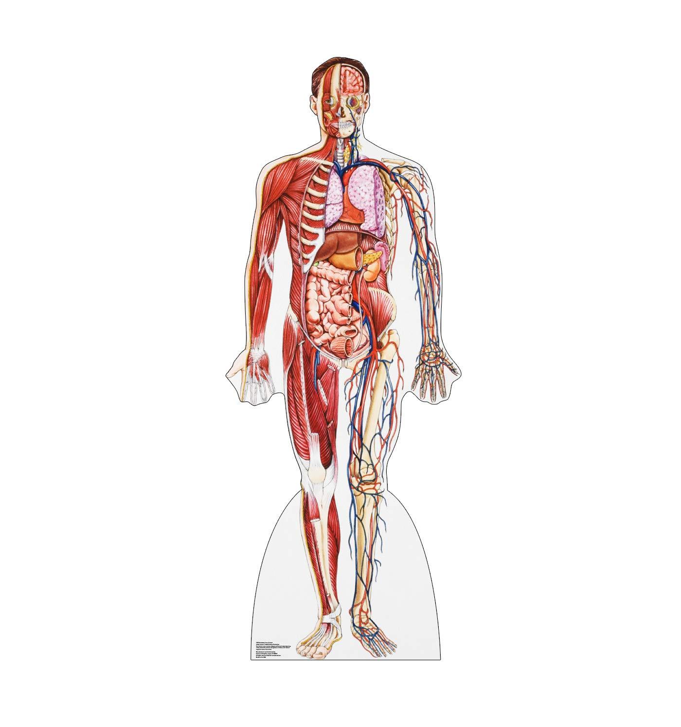 Amazon Advanced Graphics Anatomy Muscle System Life Size