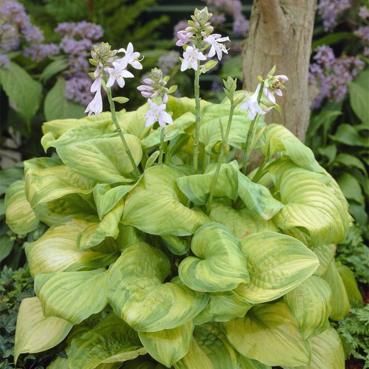 Van Zyverden 88300 Hosta Guacamole Set of 3 Roots Dormant Flower Bulbs, White