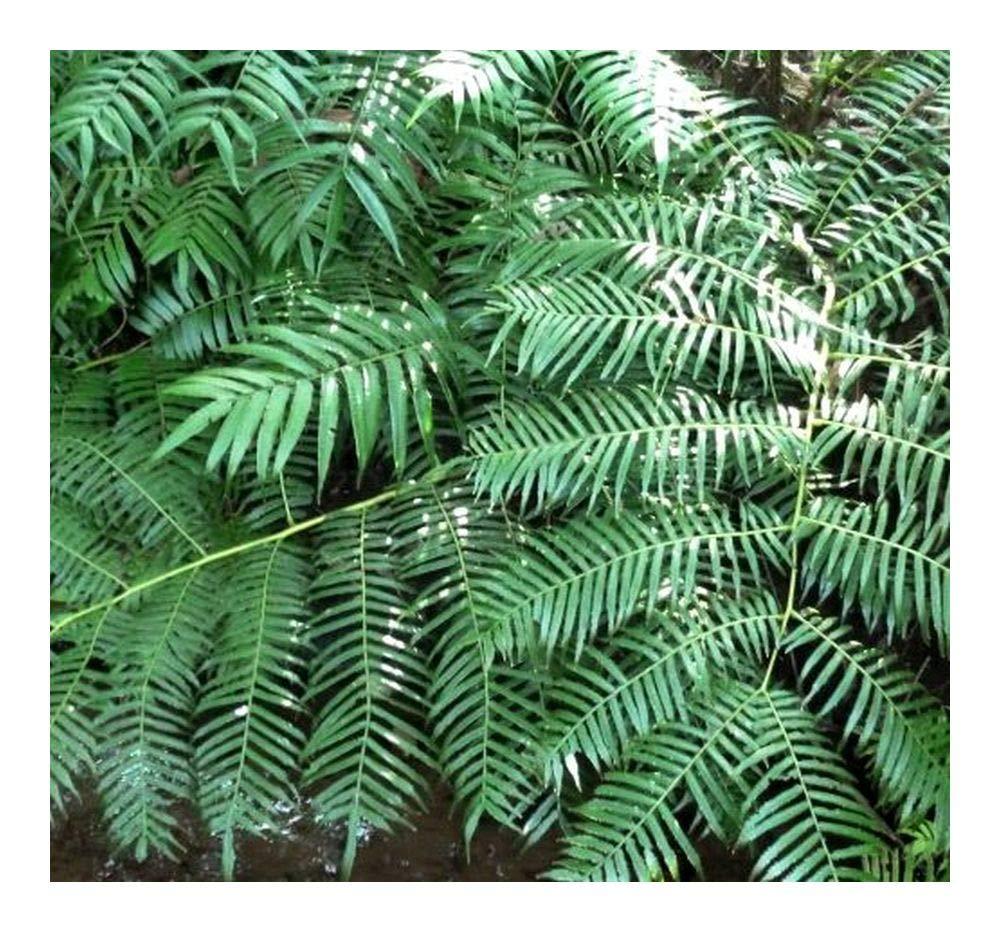 Ptisana fraxina var. salicifolia - Caudex fern - 10 seeds Exotic Plants
