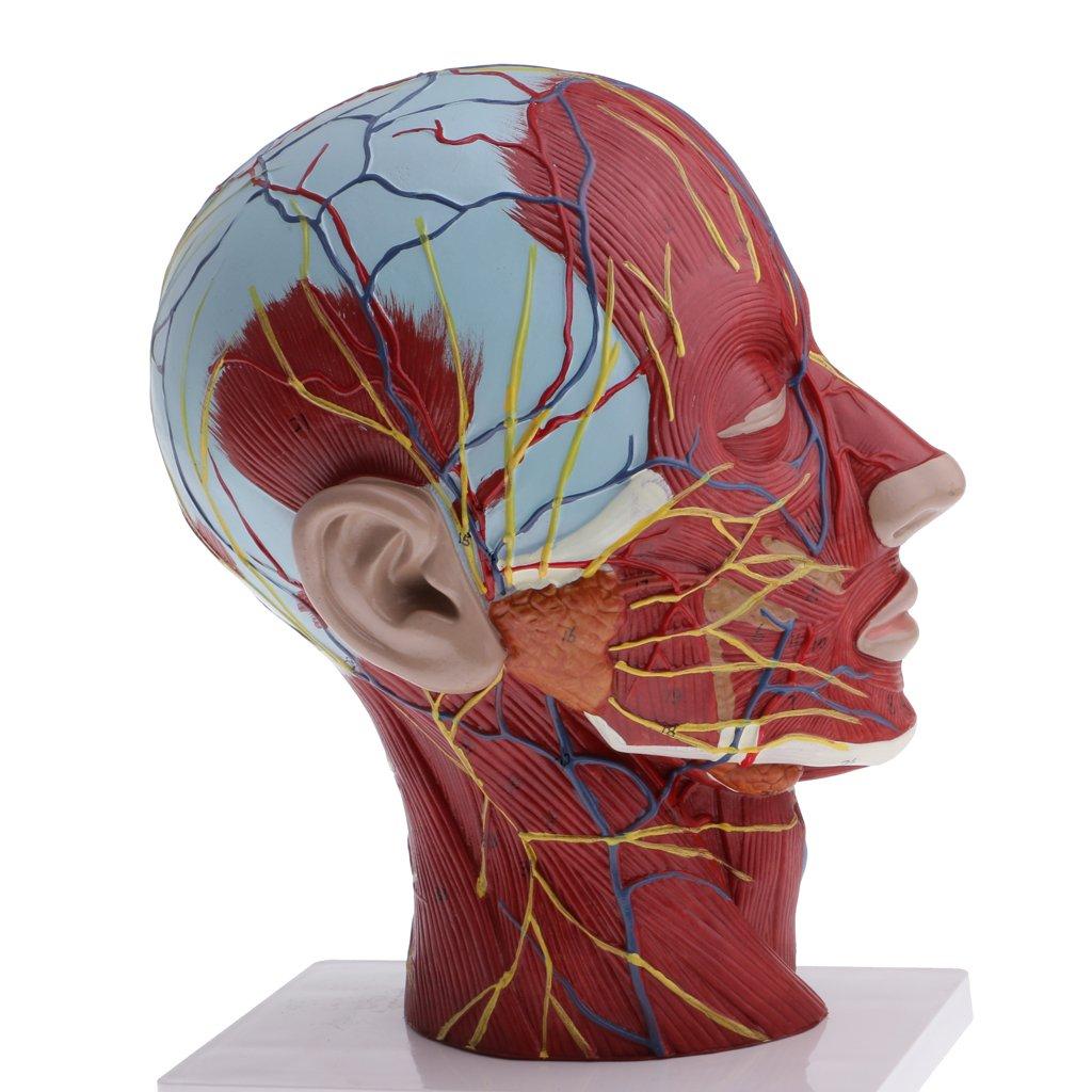 MagiDeal 1: 1 Menschlicher Kopf & Hals Oberflächlichen Muskelgefäß ...