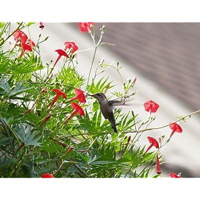 40 CARDINAL CLIMBER VINE Seeds Ipomea Quamoclit, Red Flower .Perennial : Garden & Outdoor
