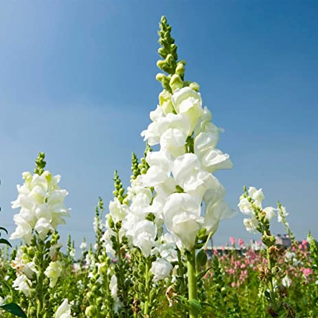 Amazon snapdragon flower seeds sonnet series f1 1000 seeds snapdragon flower seeds sonnet series f1 1000 seeds white blooms annual flower mightylinksfo