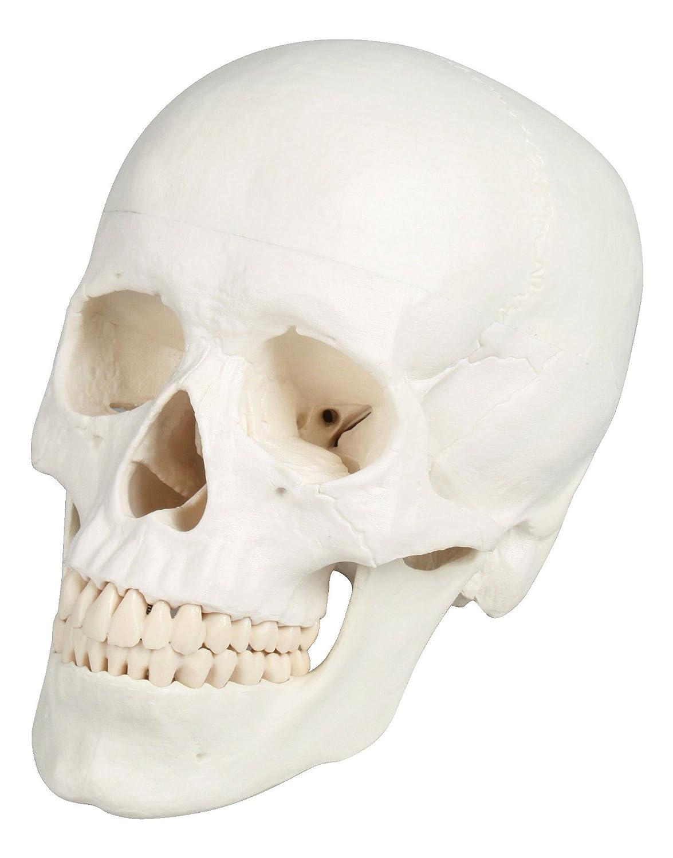 頭蓋3分解モデル 180×190×120/8-8312-01 B00B0WHG6I